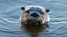 Otter Wallpaper Download Free