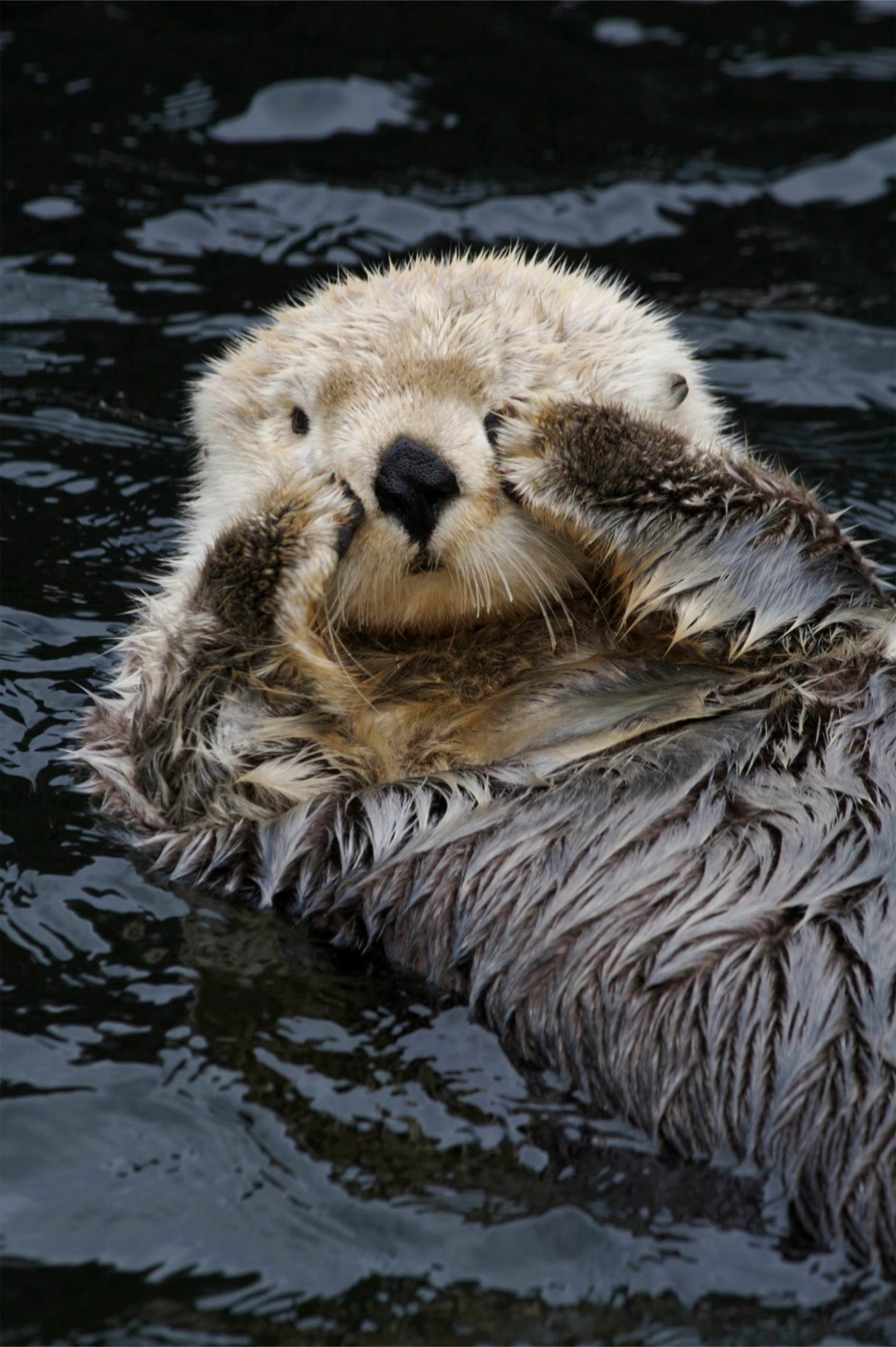 Otter Wallpapers High Quality Download Free