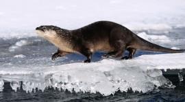 Otter Wallpaper Free
