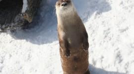 Otter Wallpaper HD