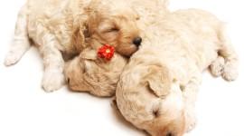 4K Puppy Sleeping Desktop Wallpaper