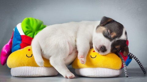 4K Puppy Sleeping wallpapers high quality