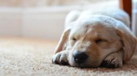 4K Puppy Sleeping Wallpaper Download
