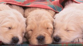 4K Puppy Sleeping Wallpaper For Mobile