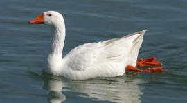 Goose Wallpaper 1080p