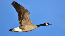 Goose Wallpaper HD