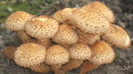 Honey Mushroom Desktop Wallpaper HD