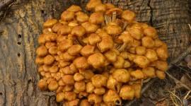 Honey Mushroom Wallpaper Free
