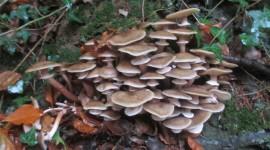 Honey Mushroom Wallpaper HD
