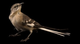 Mockingbird Wallpaper 1080p