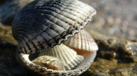 4K Shellfish Shell Desktop Wallpaper
