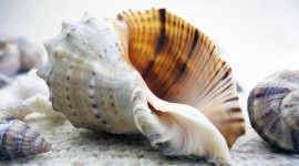 4K Shellfish Shell Photo Free