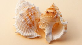 4K Shellfish Shell Wallpaper
