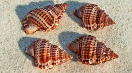 4K Shellfish Shell Wallpaper Full HD