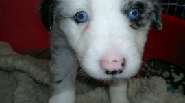Dog With Blue Eyes Wallpaper Download Free