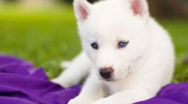 Dog With Blue Eyes Wallpaper For PC
