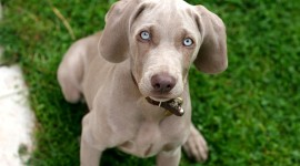 Dog With Blue Eyes Wallpaper Gallery