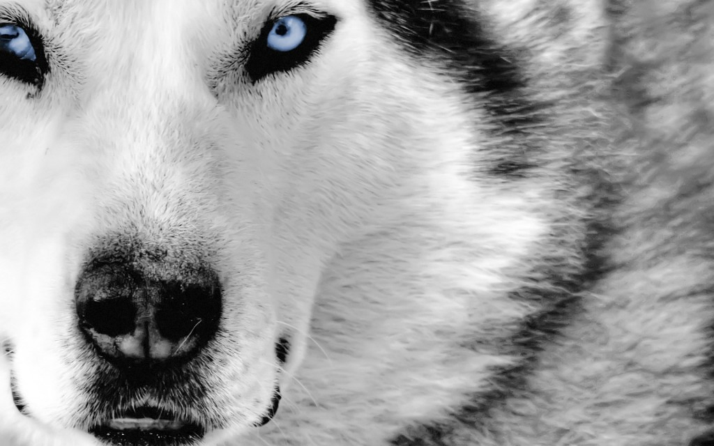 Dog With Blue Eyes wallpapers HD