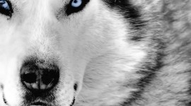 Dog With Blue Eyes Wallpaper HD