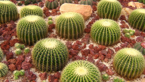 Echinocactus wallpapers high quality