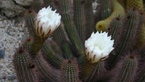 Echinopsis wallpapers high quality