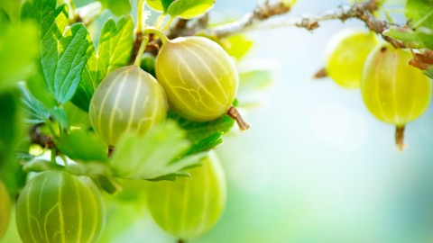Gooseberry wallpapers high quality