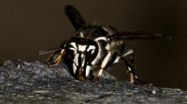 Hornet Best Wallpaper