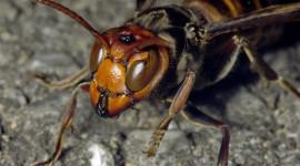 Hornet Desktop Wallpaper