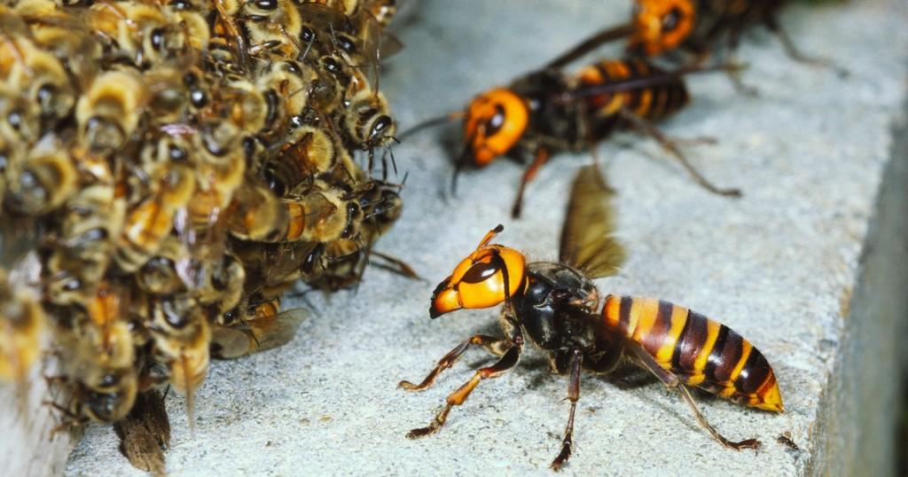 Hornet wallpapers HD