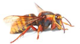 Hornet Wallpaper Free