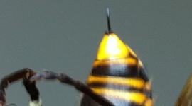 Hornet Wallpaper HD