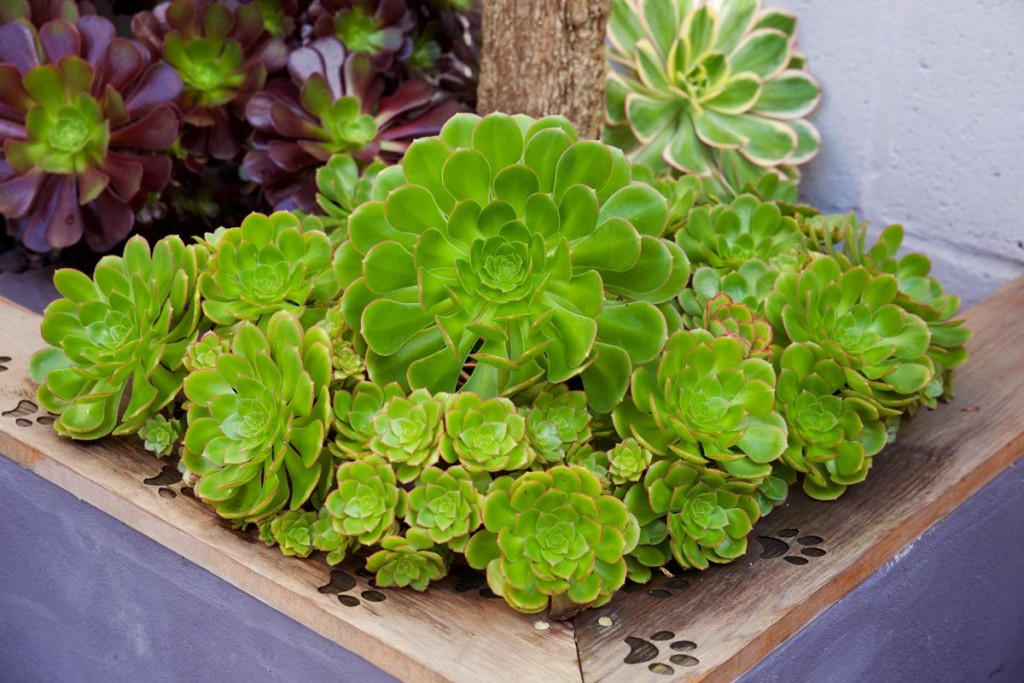 Aeonium wallpapers HD