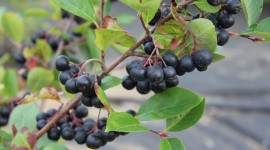 Chokeberry Photo Download