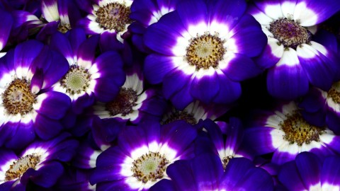Cineraria wallpapers high quality