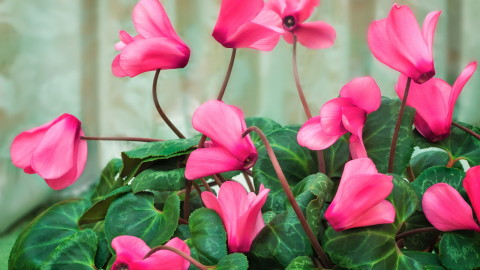 Cyclamen wallpapers high quality