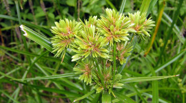 Cyperus Wallpaper For IPhone
