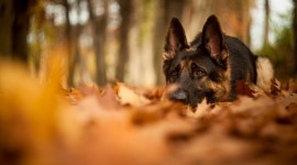 Dog Autumn Wallpaper Free