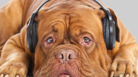 Dog Headphones Photo