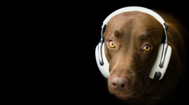 Dog Headphones Wallpaper
