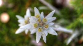 Edelweiss Photo Free