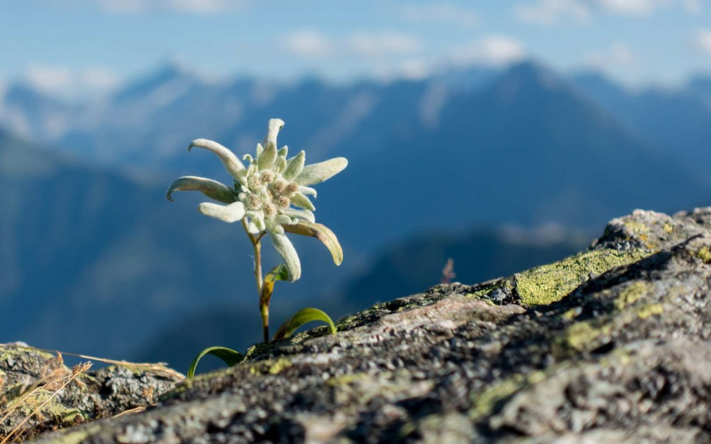 Edelweiss wallpapers HD