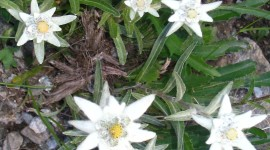 Edelweiss Wallpaper For IPhone