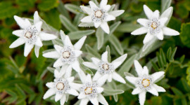 Edelweiss Wallpaper For PC