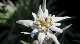 Edelweiss Wallpaper Free