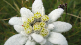 Edelweiss Wallpaper Gallery