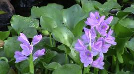 Eichhornia Photo Download
