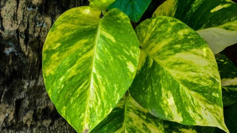 Epipremnum wallpapers high quality
