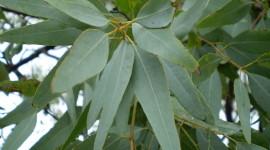 Eucalyptus Photo Download