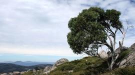 Eucalyptus Photo Free