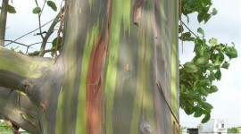 Eucalyptus Wallpaper For IPhone